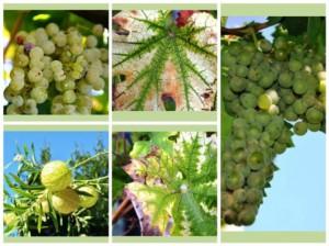 La Sibilla, l'uva a bacca bianca