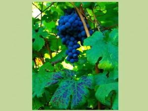 La Sibilla, l'uva a bacca rossa