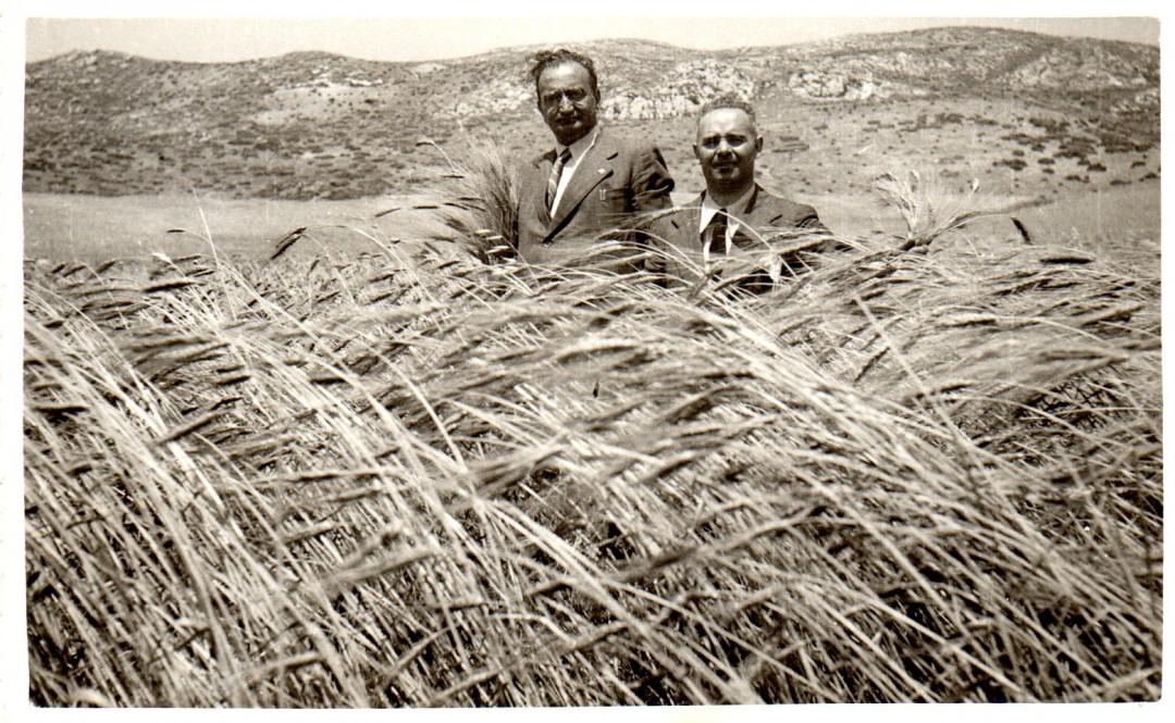 Campo-di-grano-Russello-a-Mazzarino-1939